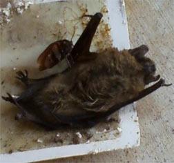 Bat Removal - Bat Control